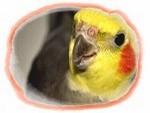 cockatiel (2)