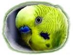 perruche (2)